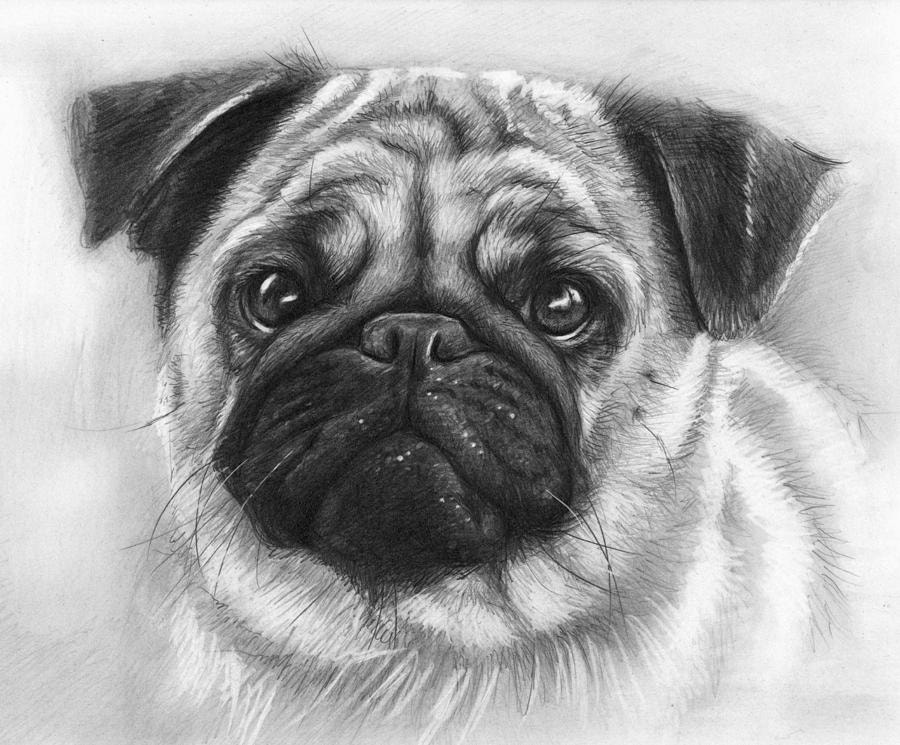 pencil-illustration-of-an-adorable-pug