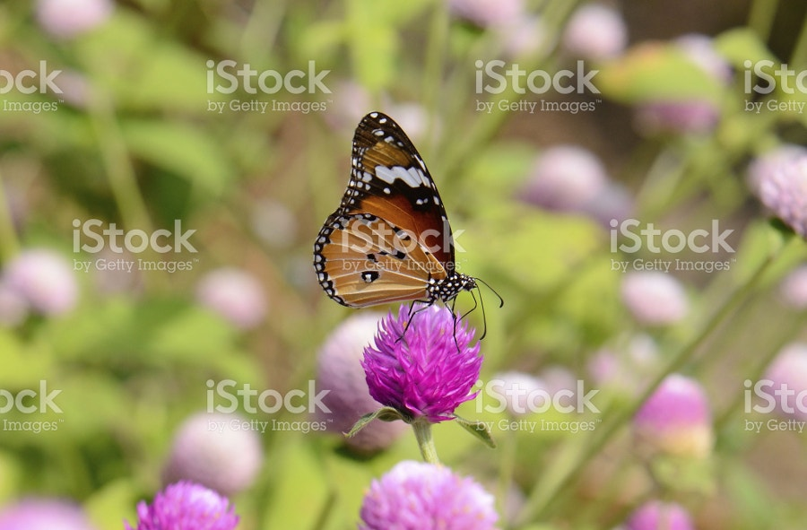 Tiger Butterfly Photography