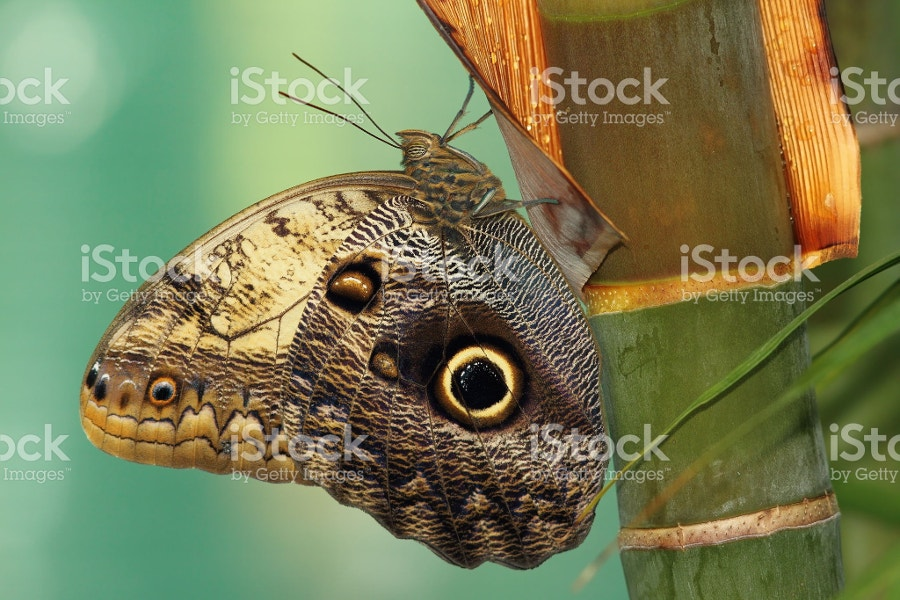 Owl Type Butterfly Image