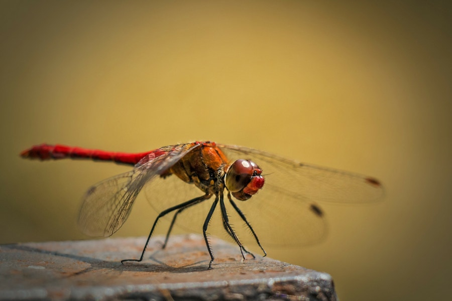 Macro Photography of Dragon Fly