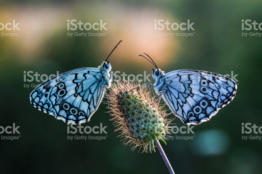 Blue Color Butterflies on Flower