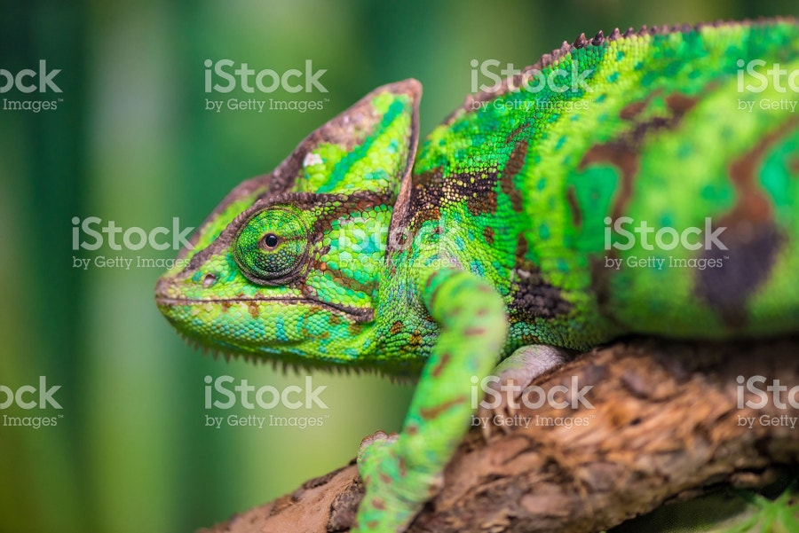 Green Chameleon on Branch