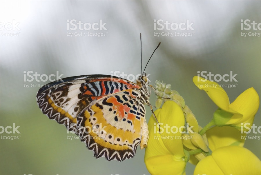 Leopard Lacewing Photography