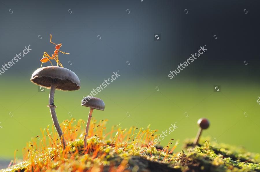 A Weaver Ant on Mushroom