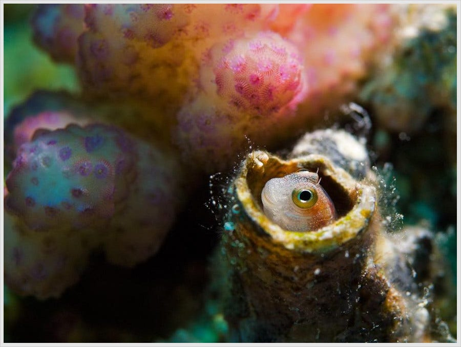 Blenny Fish Photography