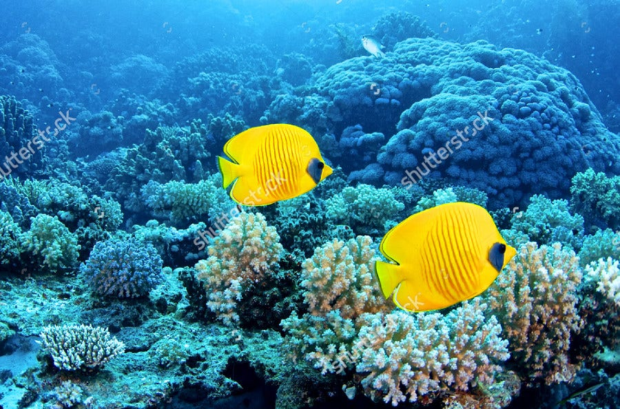 Blue Cheek Butterflyfish Photography