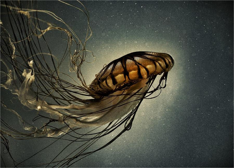 Pacific Sea Nettle Photograhy