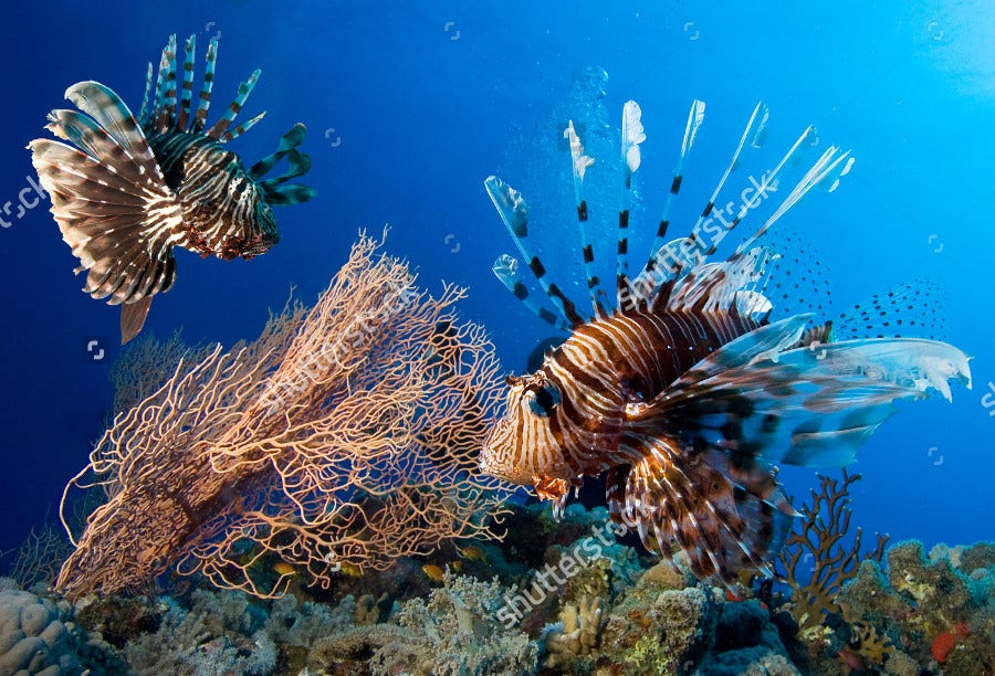 Sea Couple Lionfish