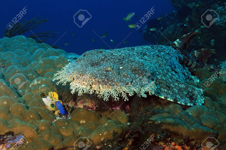 Tasselled Wobbegong Photography