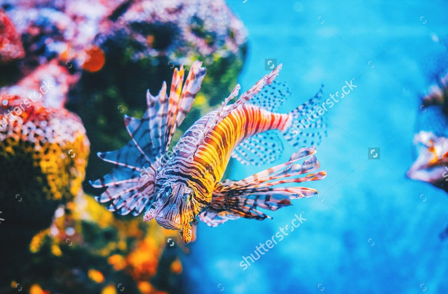 Underwater Lion Fish Photography