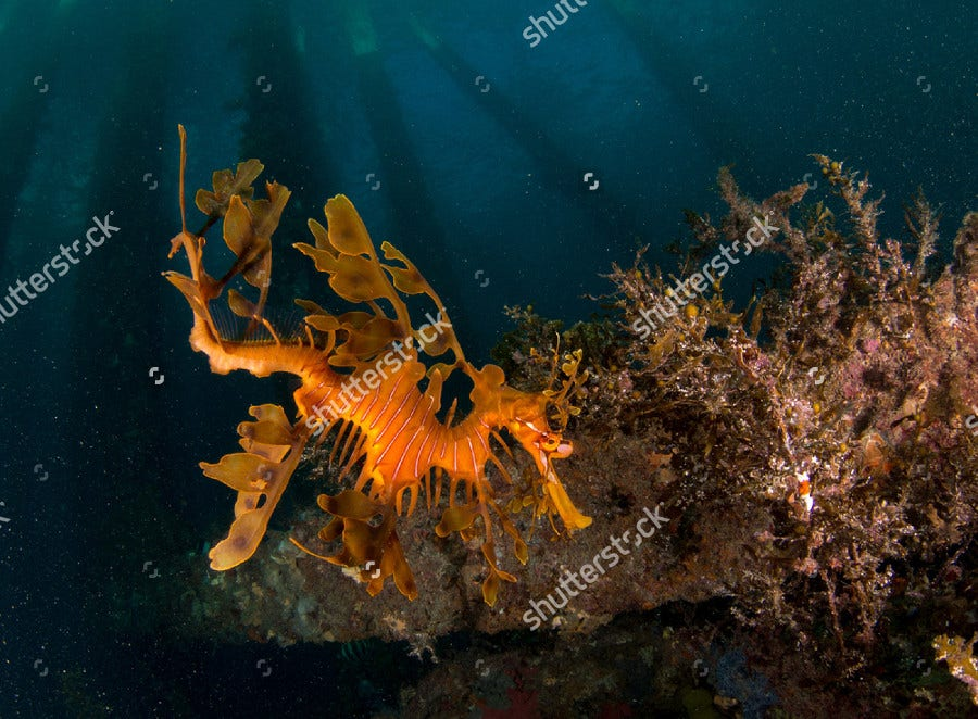 Weedy Sea Dragon Photography