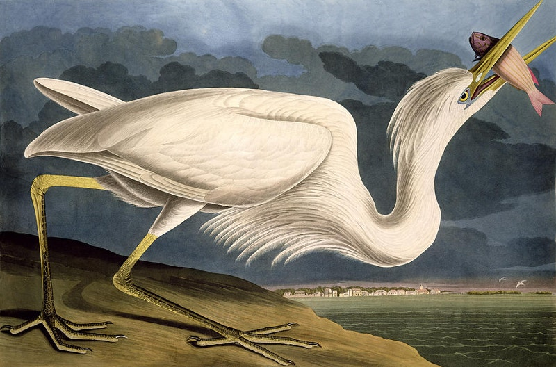 White Heron Nature Drawing