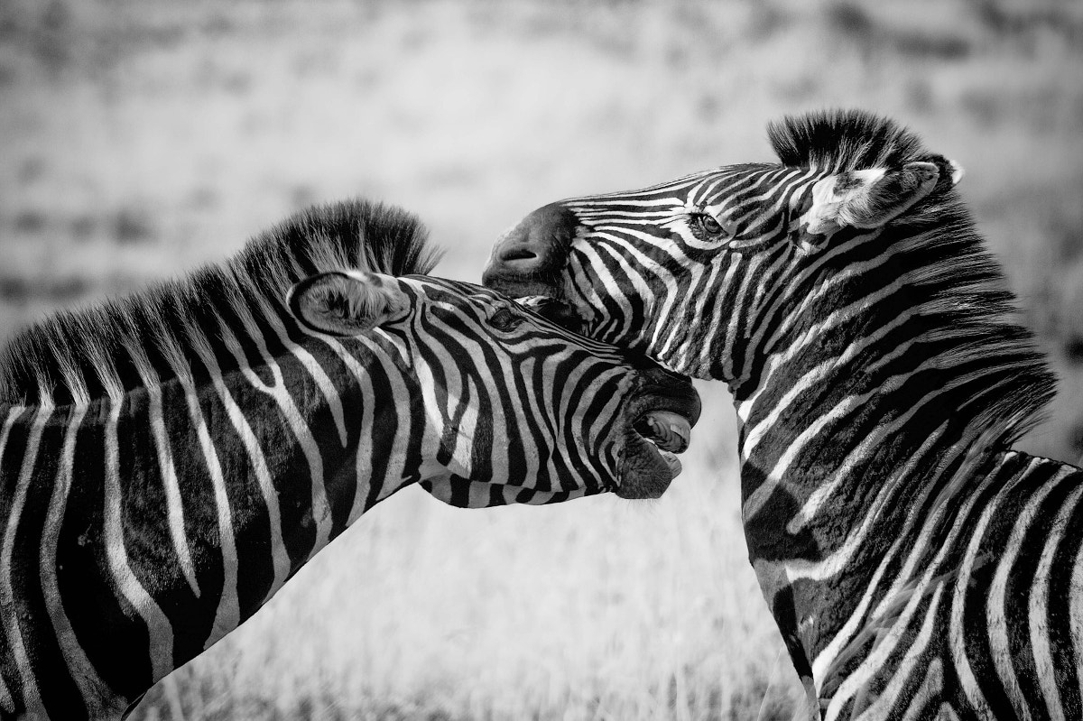 Wild Life Black & White Photography