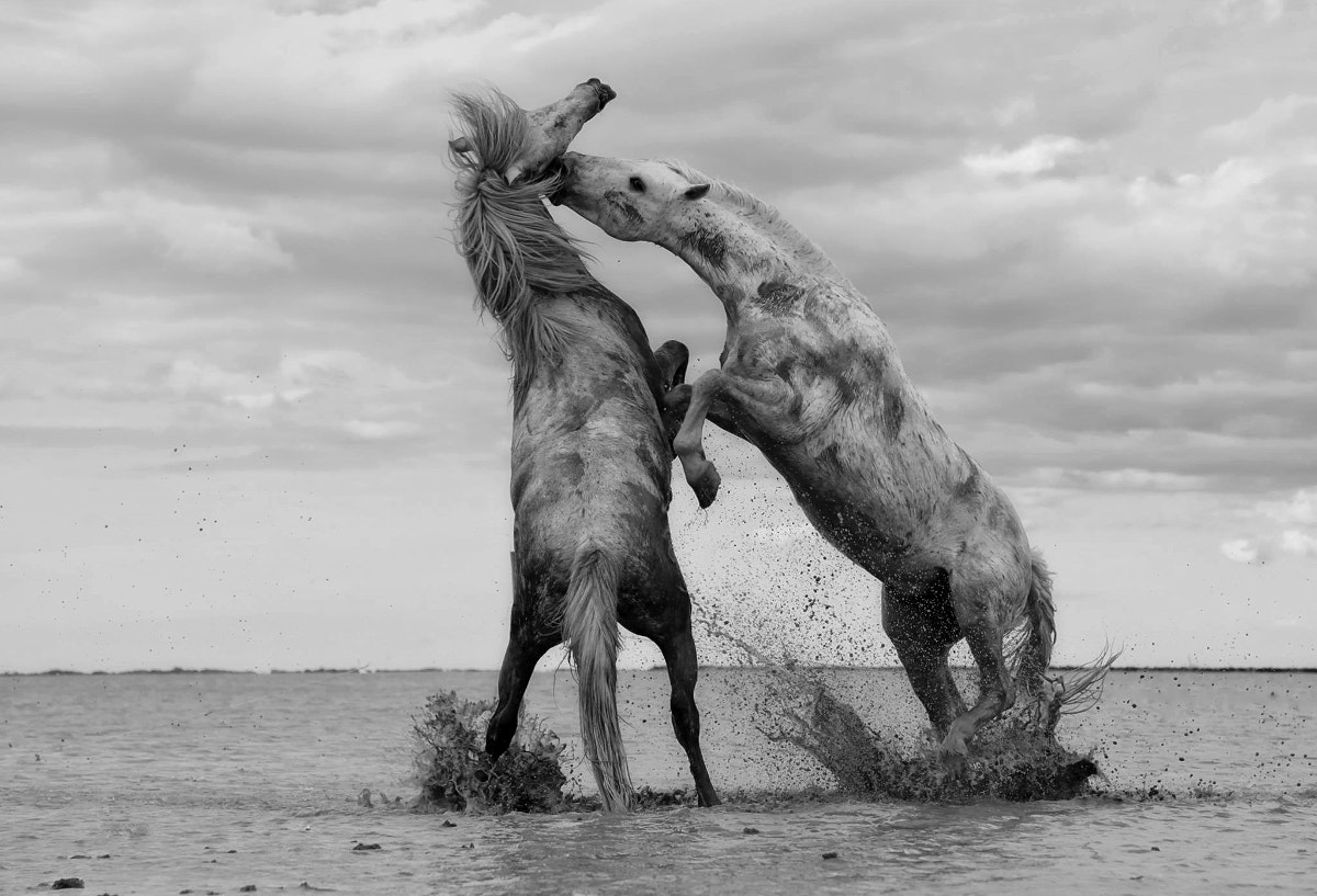 Grayscale Photography of 2 Horses