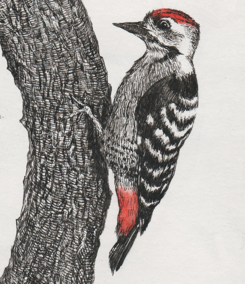 Illustration of Woodpecker