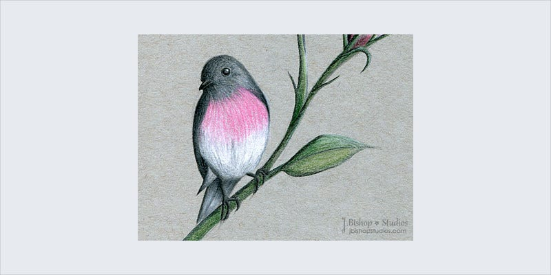 Australian Rose Robin Bird