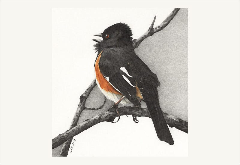 Eastern Towhee Drawing