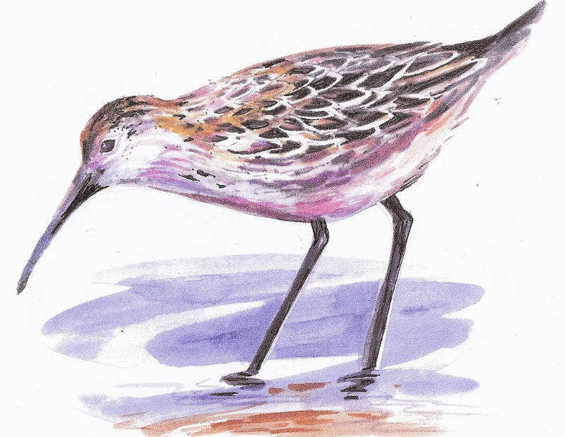 Pen and Ink Drawing of a Sandpiper