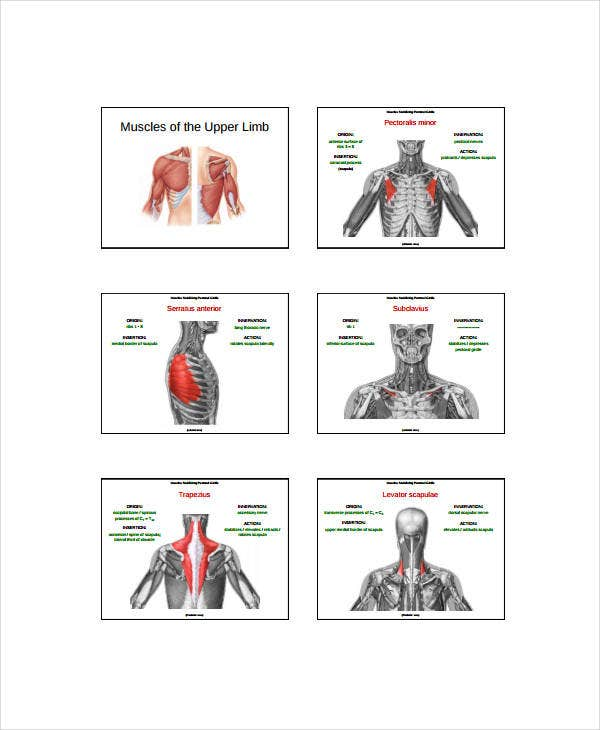Muscle Chart   Free Pdf Documents Download  Free  Premium