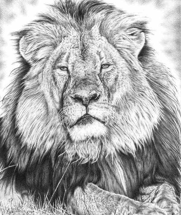 Black and White Lion Drawing