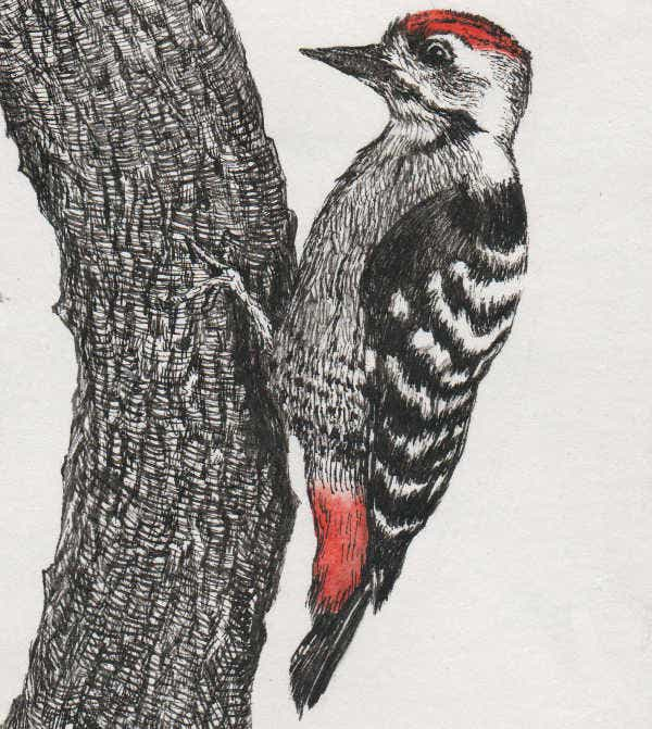 Black and White Drawing of Woodpecker