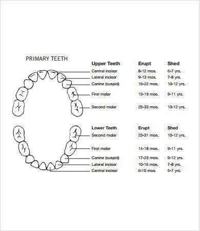 Baby teeth chart 8 free pdf documents download free premium baby eruption teeth chart ccuart Image collections