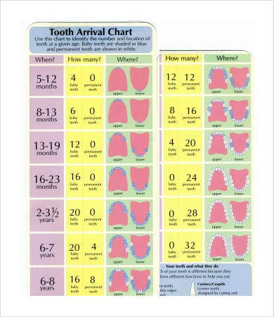 Baby Teeth Chart   Free Pdf Documents Download  Free  Premium