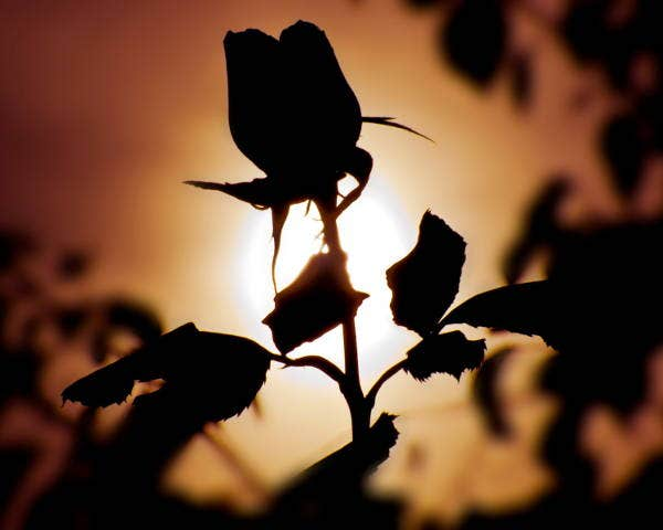 flower silhouette photography