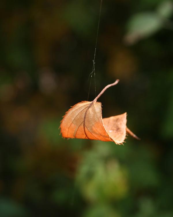Leaf Hanging by a Thread