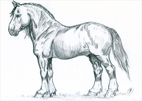 Shire Horse Stallion Sketch