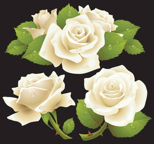 white-rose-vector