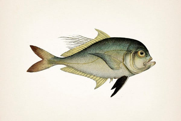 Vintage Fish Drawing