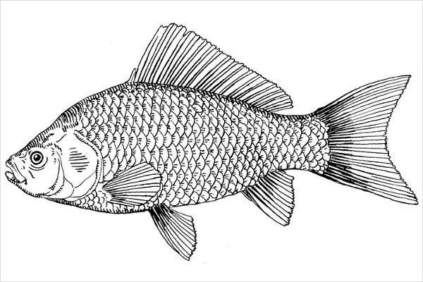 Fish Picture Drawing