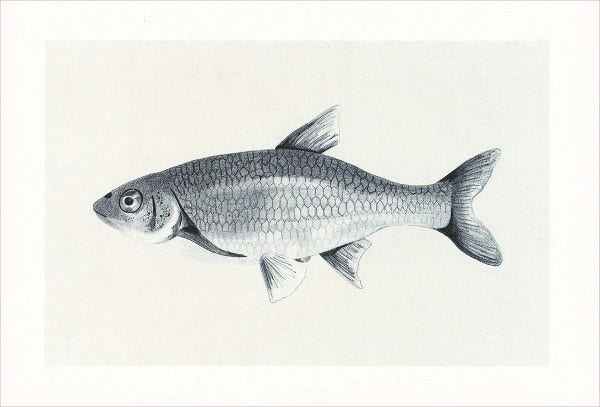 Fish Drawing Illustration