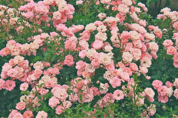 vintage-rose-photography