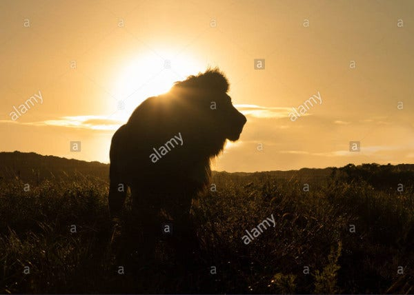 african lion silhouette
