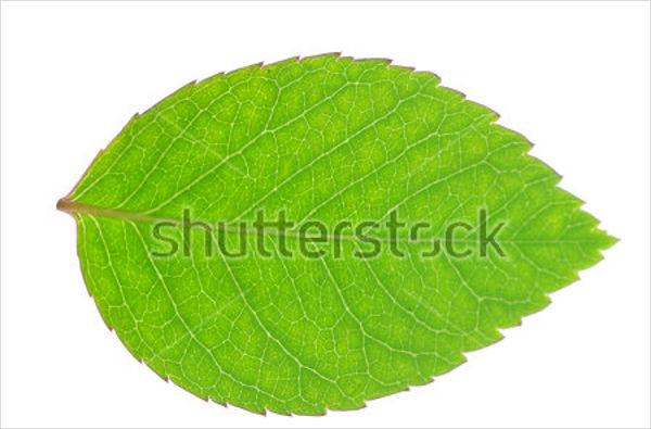 rose-leaf-texture