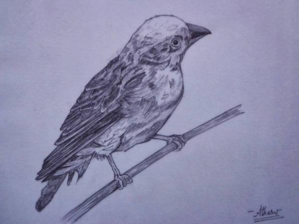 vintage-bird-sketch