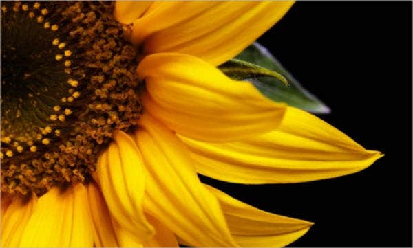blank sun flower template