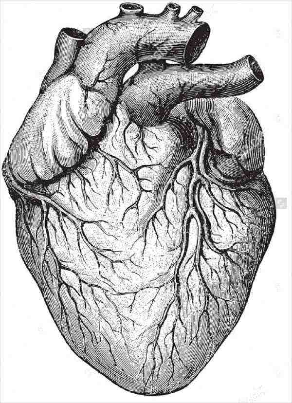 human-heart-illustration