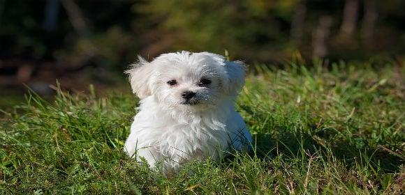 animaldogmaltese33053